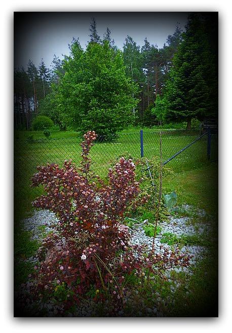 Självsådd Physocarpus - smällspirea