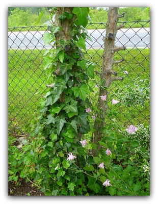 Egensatt murgröna och vild akleja