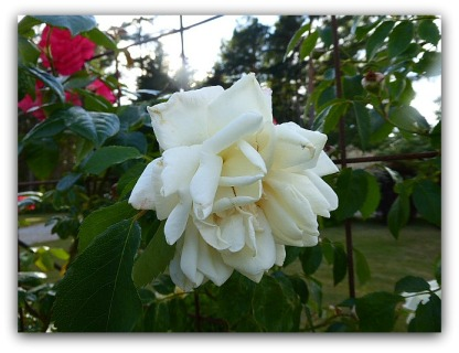 Även idag blir det rosor, den här börjar se lite bedagad ut men är vacker ändå!