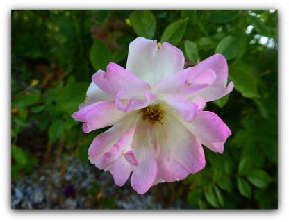 Den här klängrosen, `Phyllis Bide´, som skulle vara otroligt tålig är den absolut sämsta jag har. Den har frusit nersamt torkat och nu är den bara ett par dm hög och blommar med några enstaka pyttesmå blommor! är d