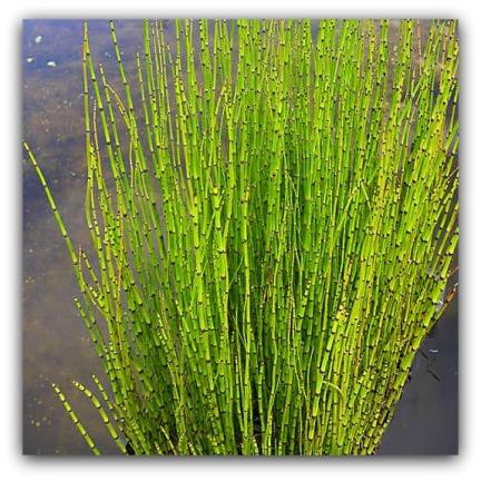 Equisetum hyomale - skavfräken